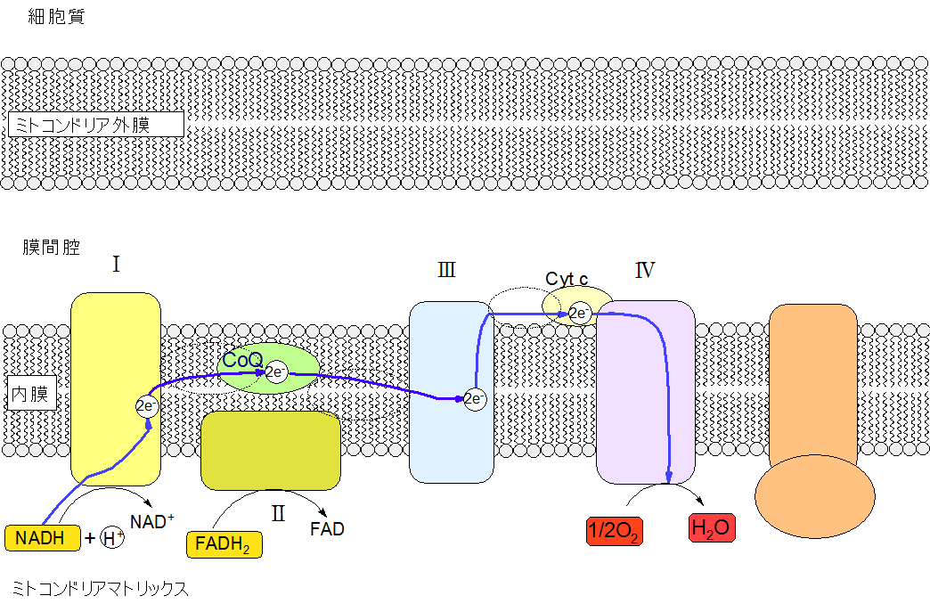 脂肪からATPをつくる-電子伝達系