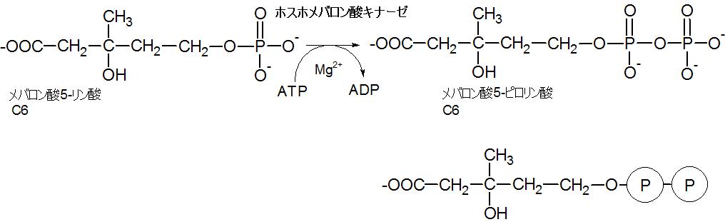 メバロン酸5-ピロリン酸