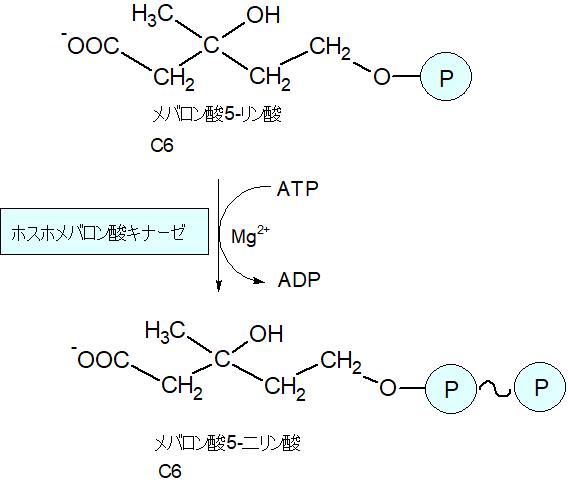 メバロン酸5-二リン酸