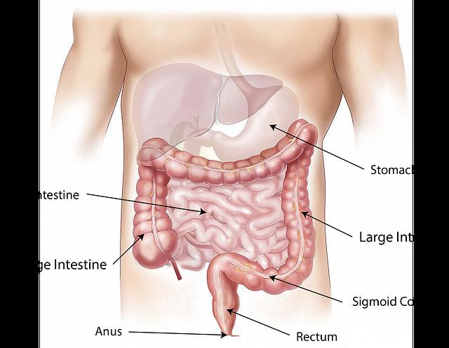 腸の解剖図