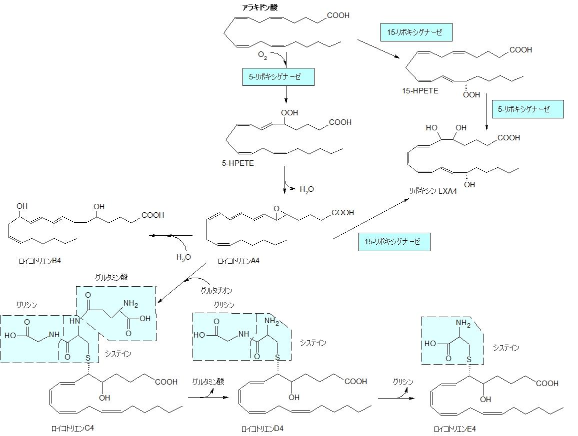 アラキドン酸カスケード構造式
