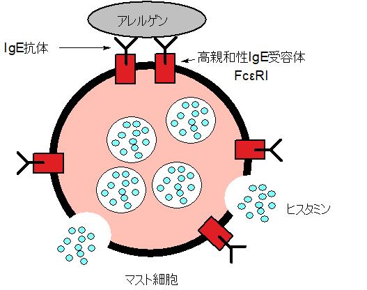 マスト細胞